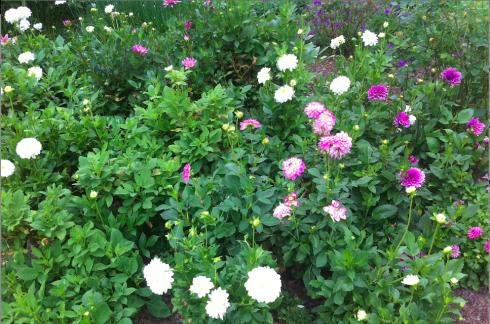 Dahlia's in a garden